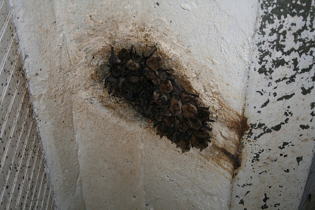 A maternity colony of little brown bats . (Credit: Idaho Fish and Game)
