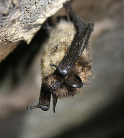 A healthy little brown bat from Aeolus Cave in Vermont. (Credit: U.S. Fish and Wildlife Service)
