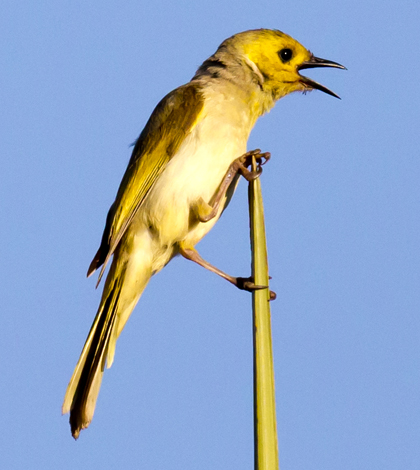 White-plumed honeyeaters had the shortest flight distances in the study. (Credit: Jim Bendon/CC BY-SA 2.0)