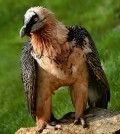 The bearded vulture is considered Near Threatened with a decreasing population. (Credit: Richard Bartz, via Wikimedia Commons/CC BY 2.5)