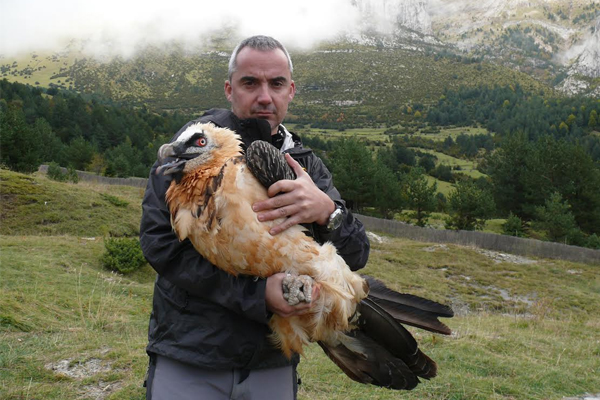 Researchers tagged endangered bearded vultures with GPS satellite transmitters to track their movments. (Credit: Juan Antonio Gil Gallus)