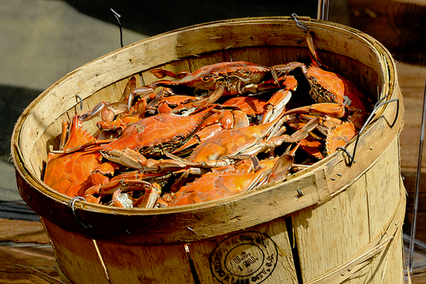 The Chesapeake blue crab — which turns reddish orange when cooked — could disappear from the bay within a century if water quality and fishing pressure don't improve. (Credit: Maryland GovPics, via Flickr/CC BY 2.0)