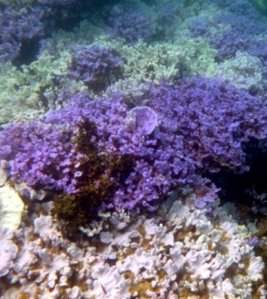 Healthy lavender corals alongside white coral bleached from thermal stress near Lisianski Island. (Credit: National Oceanic and Atmospheric Administration and the Hawaii Institute of Marine Biology)