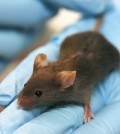 Laboratory mouse. (Credit: Rama, via Wikimedia Commons/CC BY-SA 2.0 France)