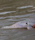 Study looks in to the decline of Missouri River pallid sturgeon. (Credit: Chris Guy / USGS)