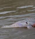 Study looks in to the decline of Missouri River pallid sturgeon. (Credit: Chris Guy / USGS)