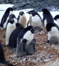 penguin populations / Researchers at University of Delaware are studying adélie penguins in Antarctica. (Credit: University of Delaware)