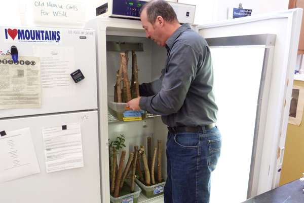 Don Cipollini pulls tree samples out of an incubator in his lab. Strips holding emerald ash borer eggs are applied to each one to see which tree species the insect can live in. (Credit: Daniel Kelly)