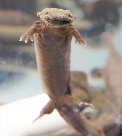 Raising this hellbender in captivity improves his chances for survival. (Credit: Tom Campbell / Purdue Agricultural Communication)