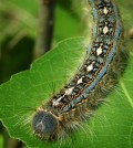 Forest tent caterpillars are among the insect species that feed on aspen leaves. (Courtesy John Couture, UW-Madison)
