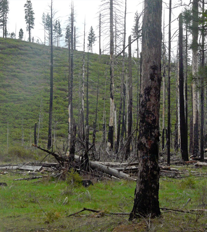 Post-fire logging helps remove larger fuel sources immediately after a fire. (Courtesy Kyle Dodson)