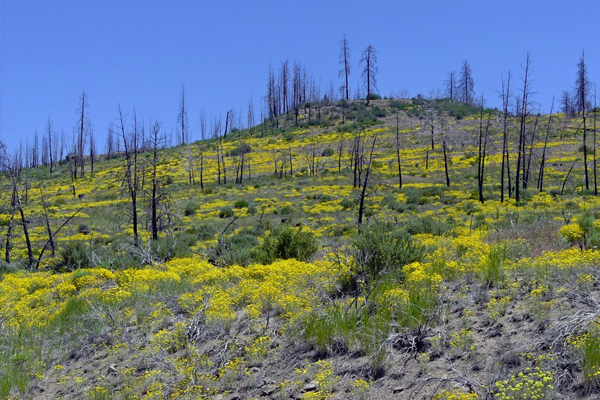 A site that has been salvaged after a fire has less chance for reburn. (Courtesy Dave Peterson / Pacific Northwest Research Station)