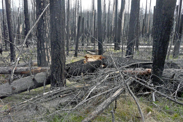 Unsalvaged forests exhibit high fuel availability several years following a fire. (Courtesy Kyle Dodson)