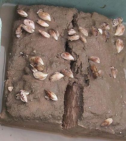 Quagga Mussels on a sediment sample. (Credit: NOAA)