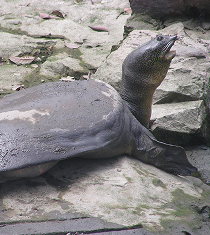 Yangtze giant softshell turtle.