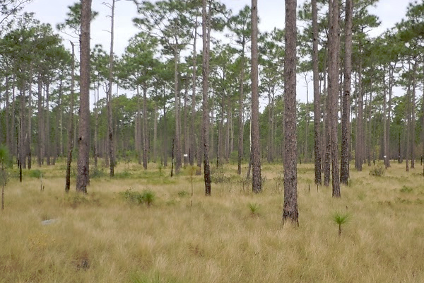 The open canopy of a well-managed longleaf pine stands allows sunlight to reach the ground and support a diverse community of herbaceous plants. (Courtesy Paul Taillie)