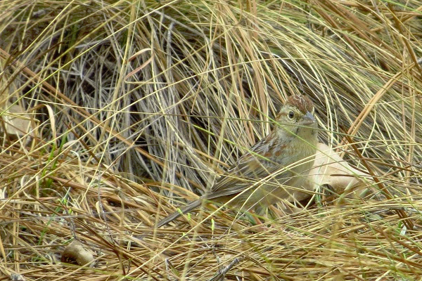 Bachman's sparrows spend most of their time close to the ground under cover of wiregrass and other fire-maintained herbaceous vegetation. (Courtesy Paul Taillie)