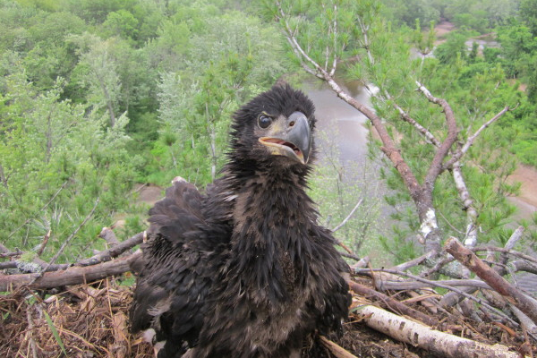The EPA examined mercury concentrations in bald eagle chicks as part of the study. (Courtesy Chris Persico)