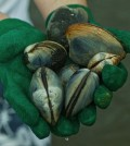Clams in Long Island's Great South Bay were falling victim to nitrogen pollution. (Credit: Kenton Rowe)
