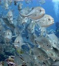 Even low human populations can cause large declines in fish biomass near reefs. (Credit: Ben Ruttenburg / NMFS SEFSC)