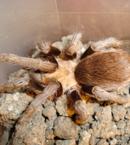 Researchers find that tarantulas move faster in warmer weather. (Mothore/CC BY 3.0)