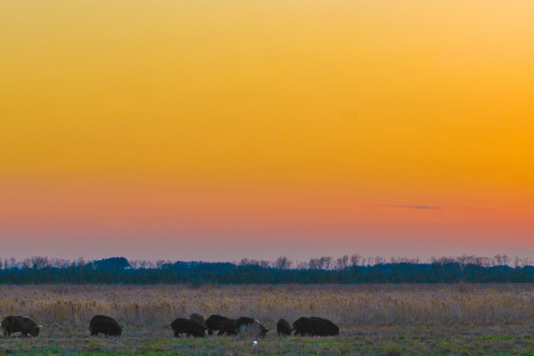 Wild pigs in Texas have larger home ranges than those in Louisiana marshes. (Credit: Josh Henderson/CC BY-SA 2.0)