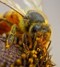 A bee pollinating a flower (Credit: Jon Sullivan)