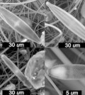 Diatoms were found preserved in a Peruvian glacier. (Credit: Bruce Brinson / Rice University)
