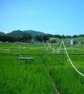 A FACE experiment in Japan examines the impact of heightened atmospheric CO2 levels on nitrogen uptake in rice. (Credit: Kazuhiko Kobayashi)