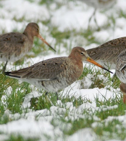"""Dutch Godwits are really a very special part of the Dutch culture,"""" said Nathan Senner, ecologist at the University of Groningen. (Credit: Ignaas Robbe)"""