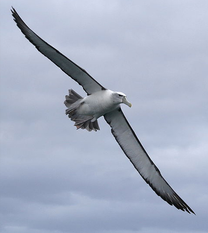A shy albatross. (Credit: Glen Fergus/CC BY 3.0)