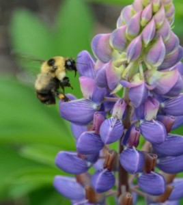 Bumblebees aren't moving north to escape hotter temperatures. (Credit: Science / AAAS)