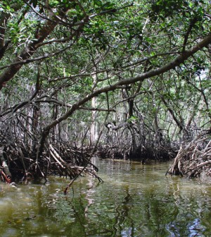 Mangrove forests help stabilize sediment as they collect on river and estuary banks, creating more mangrove habitat and providing a buffer against sea level rise. (Credit: Peyri Herrera/CC BY-ND 2.0)