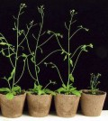 The double mutant plant has stunted development compared to plants with either one or no mutated genes. (Credit: University of Nebraska-Lincoln)