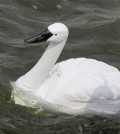 GPS-guided robots disguised as swan are set to take water quality measurements for researchers. (NUS Environmental Research Institute)