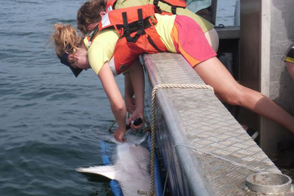 Scientists at the University of Delaware tag a sand tiger shark. (Credit: University of Delaware)