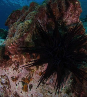 The urchin has moved into the waters of Tasmania, leading to large-scale community change. (Credit: Rick Stuart-Smith)