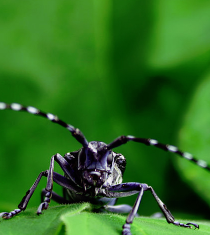 Asian long-horned beetle. (Credit: Kyletramirez/CC BY 3.0)