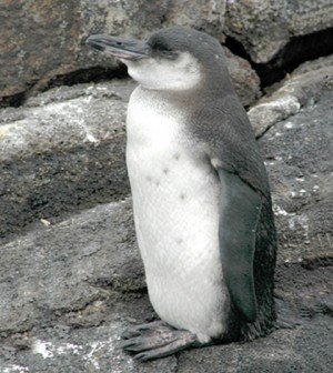 The Galapagos penguin is the second smallest penguin and the rarest in the world. (Credit: Aquaimages)