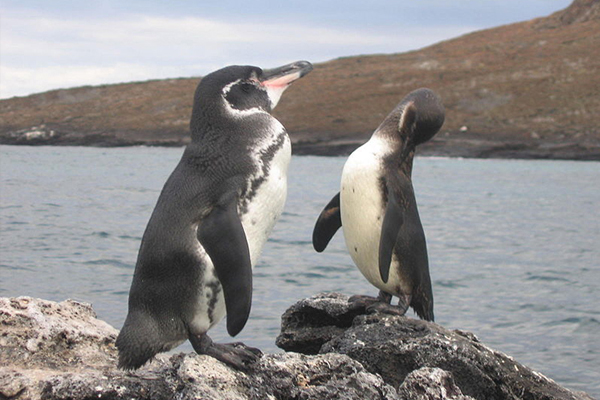 A study from WHOI examined satellite data from the past 30 years to determine how a conflux of unusual oceanic and atmospheric events led to the Galapagos penguin's resurgence. (Credit: Snowmanradio / Flickr)