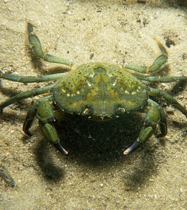 European green crab. (Credit: Commonwealth Scientific and Industrial Research Organisation/CC BY 3.0)