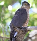 3-year-old adult female Cooper's Hawk that has been tagged with a radio transmitter. (Credit: Brian Millsap)