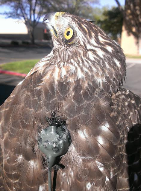 A radio transmitter mounted on the back of a 1-year-old female Cooper's Hawk. (Credit: Brian Millsap)
