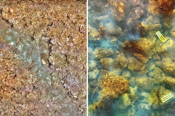 A healthy coral reef on the left and the volcanically acidified algae-covered habitat on the right. (Credit: C. Edwards and M. Fox)