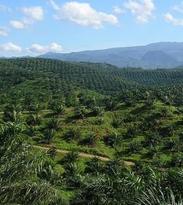 Palm plantation in Cigudeg, Bogor. (Credit: Achmad Rabin Taim/CC BY 2.0)