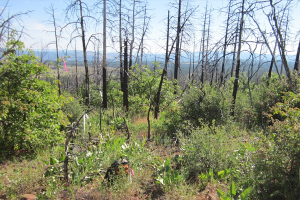 An untreated, high-severity fire plot that burned in the Peterson Fire of 2008. (Credit: Jens Stevens / UC Davis)