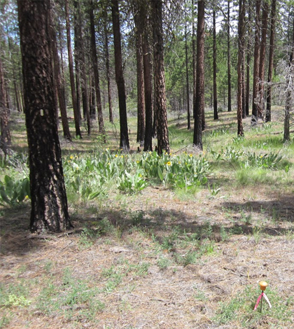 Treated plot that subsequently burned in the Peterson Fire of 2008. (Credit: Jens Stevens / UC Davis)