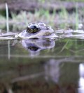 An adult Cascades frog. (Credit: Maureen Ryan / University of Washington)