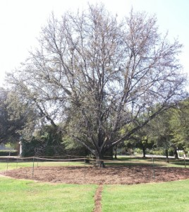 Grounds managers believe the large lawn that the tree is sitting on could be contributing to its problems, as trees and lawns absorb water differently. (Credit: University of California, Riverside)