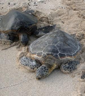 Green sea turtles resting on the shore. (Credit: Steve Jurvetson/CC BY 2.0)